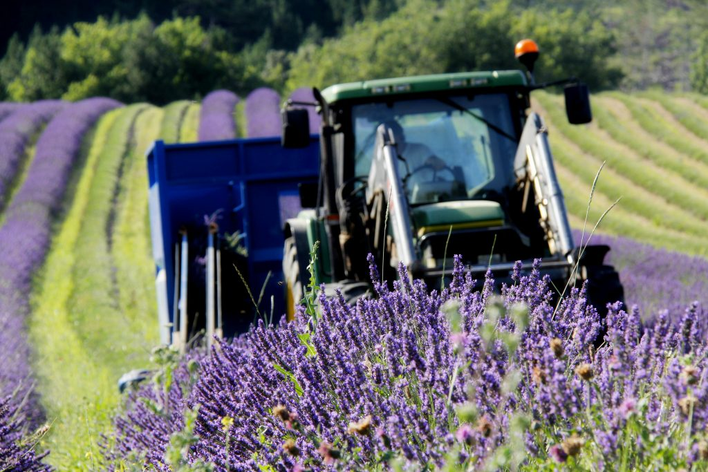agriculteurs en Provence qui font de la lavande du lavandin et du petit épeautre sur le mode de l'agriculture biologique en vente directe sur un domaine familial