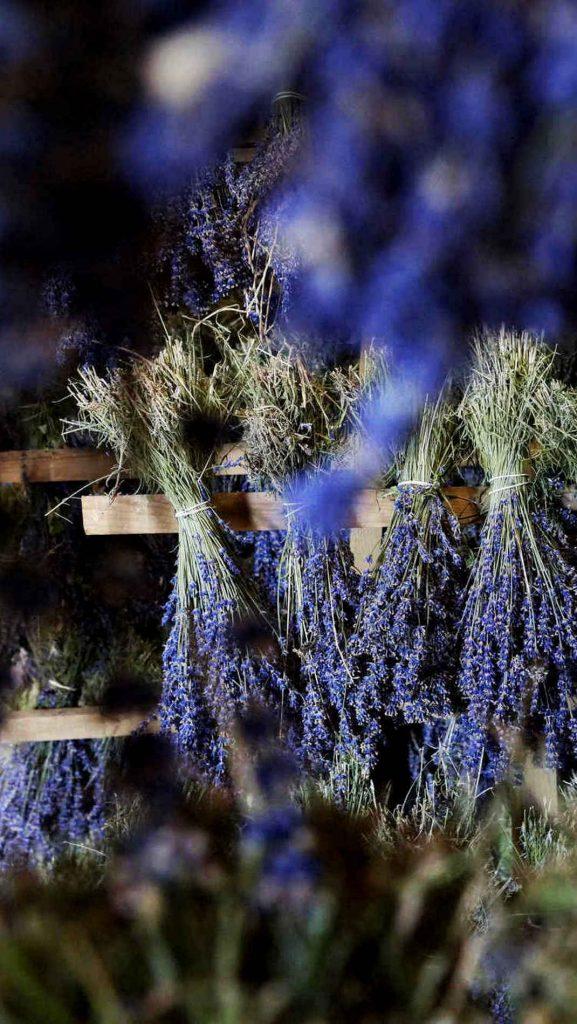 Bouquet de lavande qui sèche la tête en bas sur un séchoir en plein mois de juillet chez le producteur bio en Provence près de Sault et du Mont Ventoux